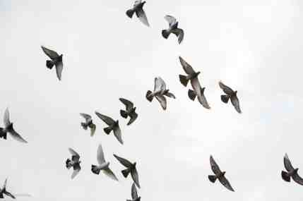 Pigeons, chased away by a dog, fly over the hernshead looking for safety