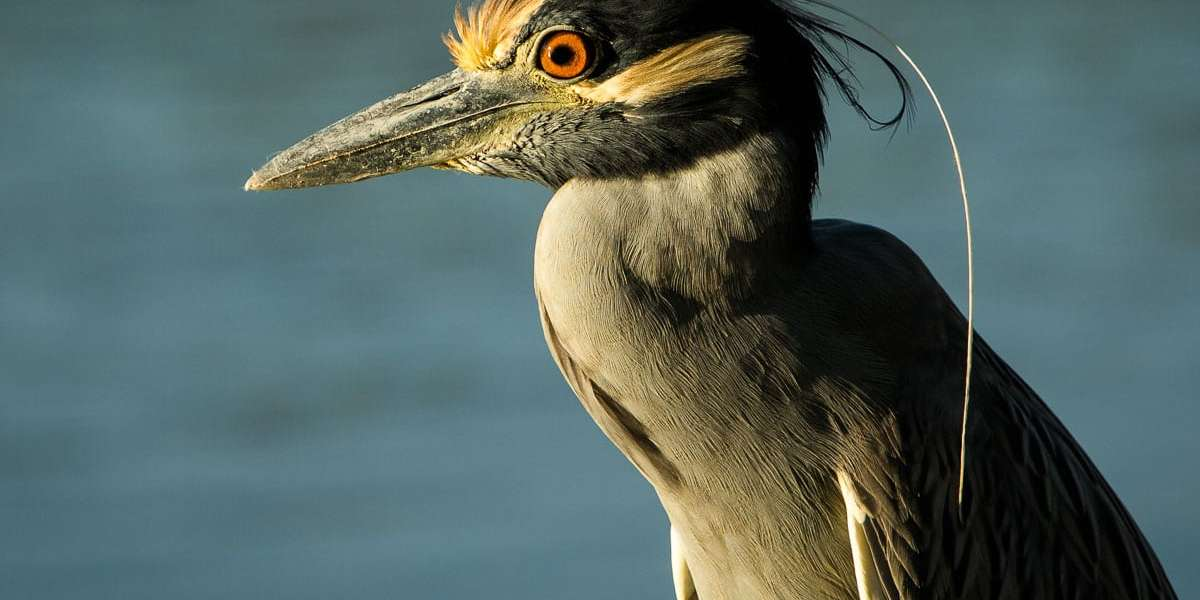 Close up of night heron