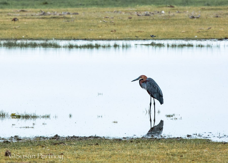 A crane alone in a watering hole in Amboseli, Kenya
