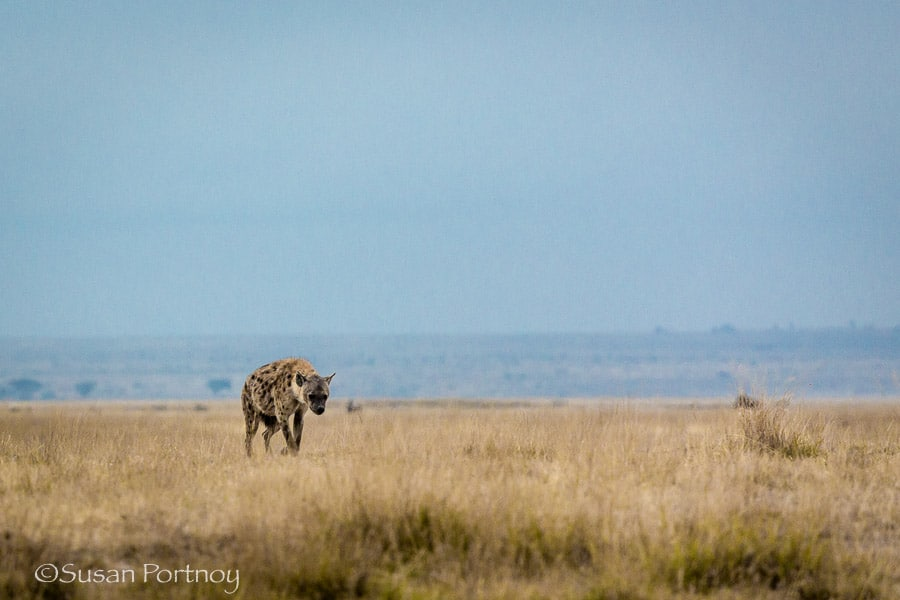 A spotted hyena walks towards its den in the high grass in Amboseli, Kenya
