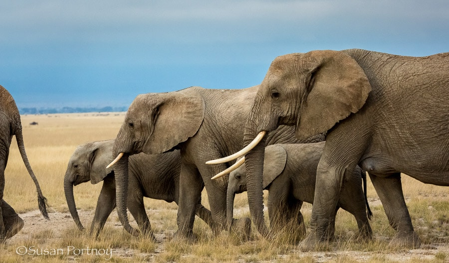 Elephant herd in Amboseli, Kenya