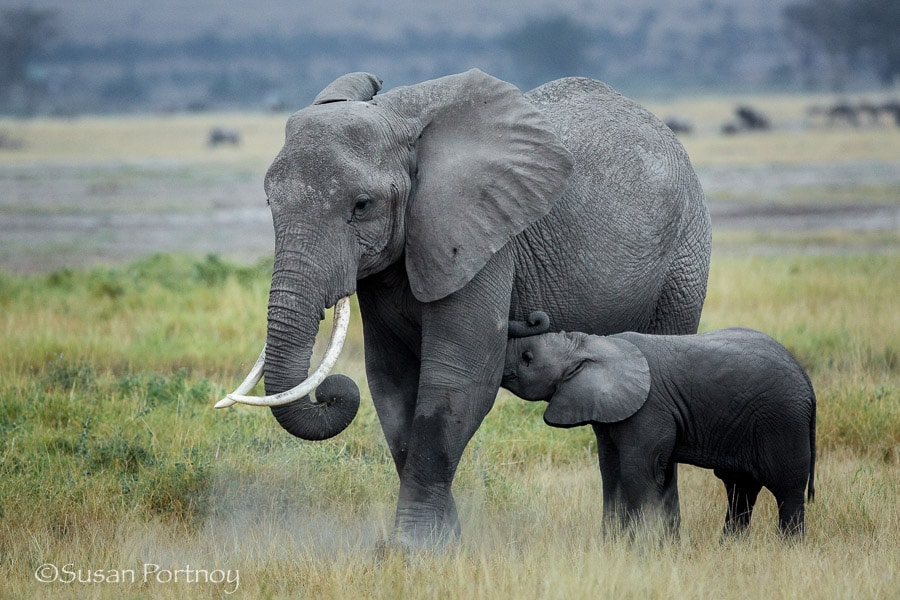 A young elephant calf nurses from its mother in Amboseli, Kenya
