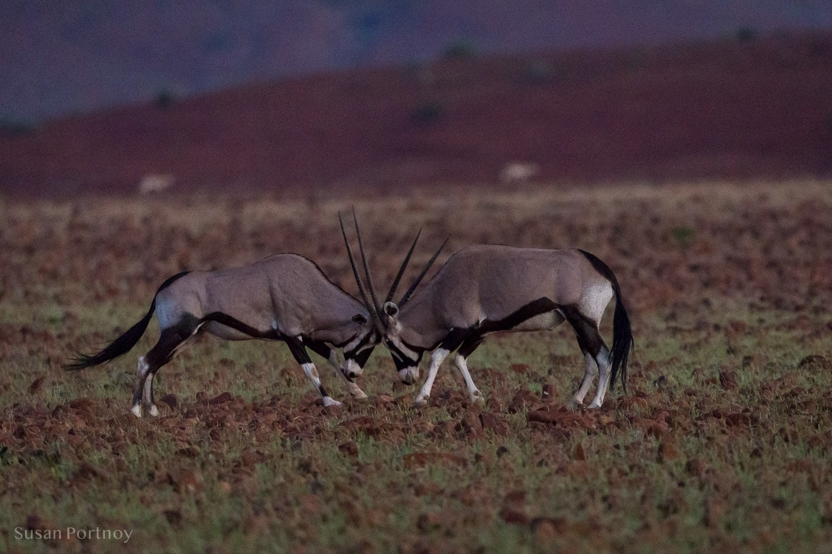 Two oryx battle for dominance