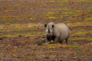 Kangombe, black rhino near Desert Rhino Camp, Namibia