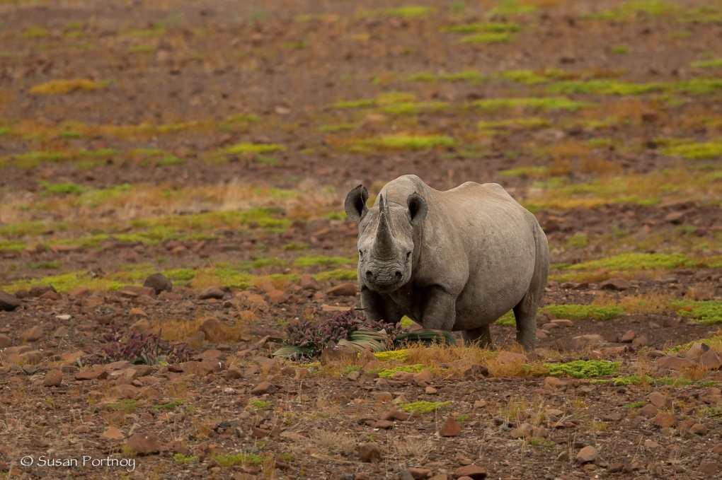 Kangombe, black rhino looks toward the camera