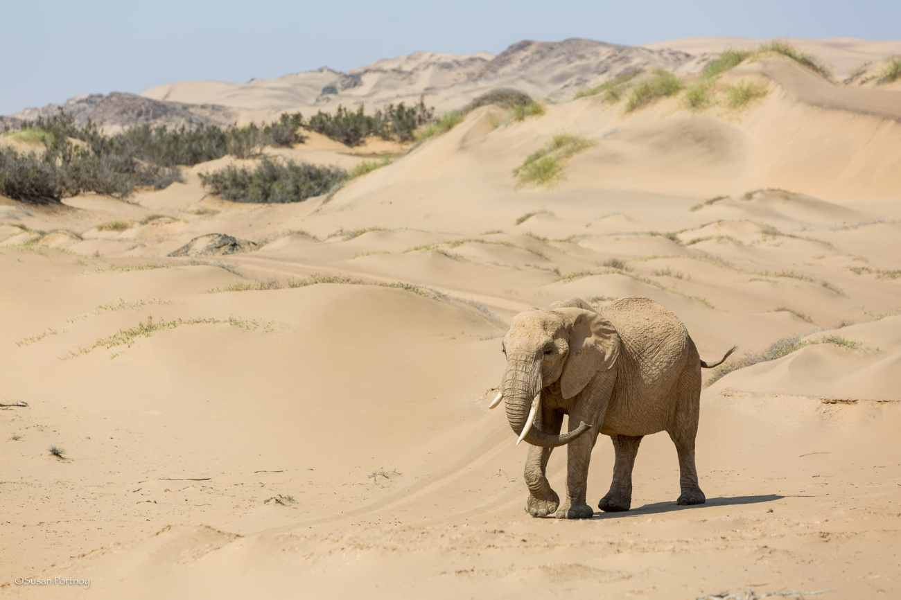 Female elephant in Namibian desert