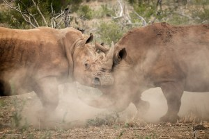 Two rhinos fight near Molori Safari Lodge in Madikwe, South AFrica