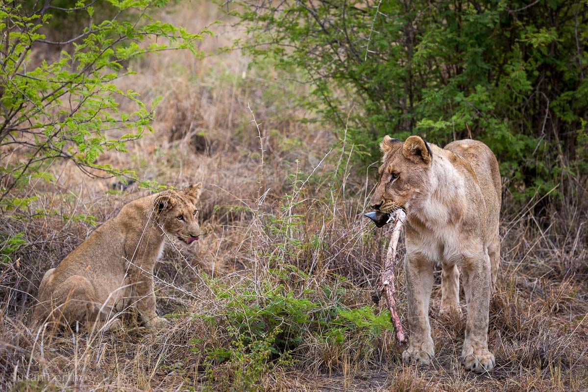 Two cubs play with an animal limb