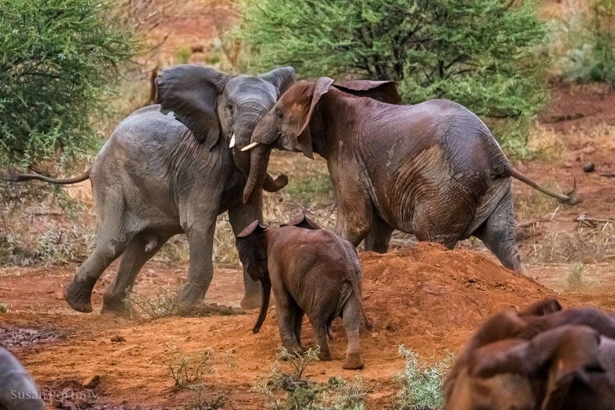 Elephants playing in the rain