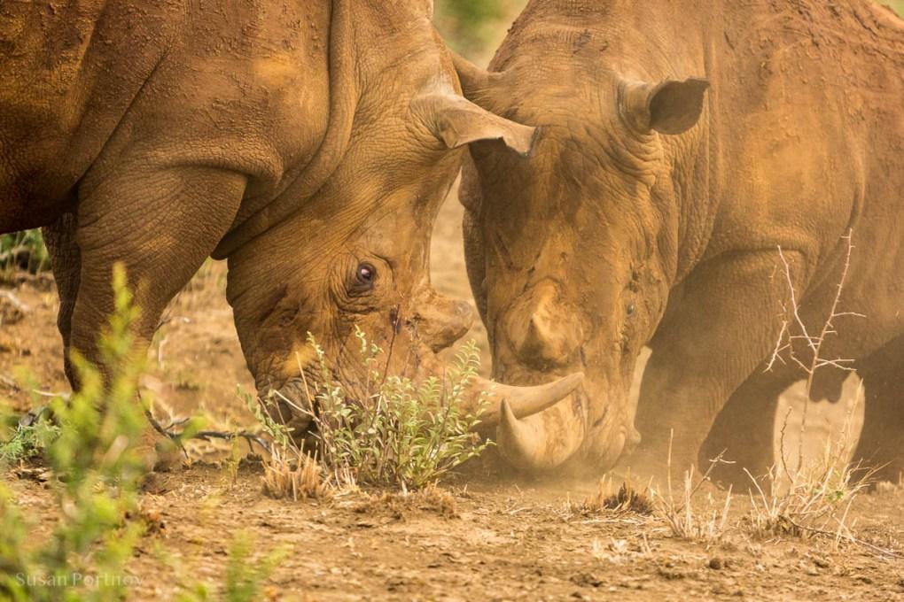 Two rhinos spar