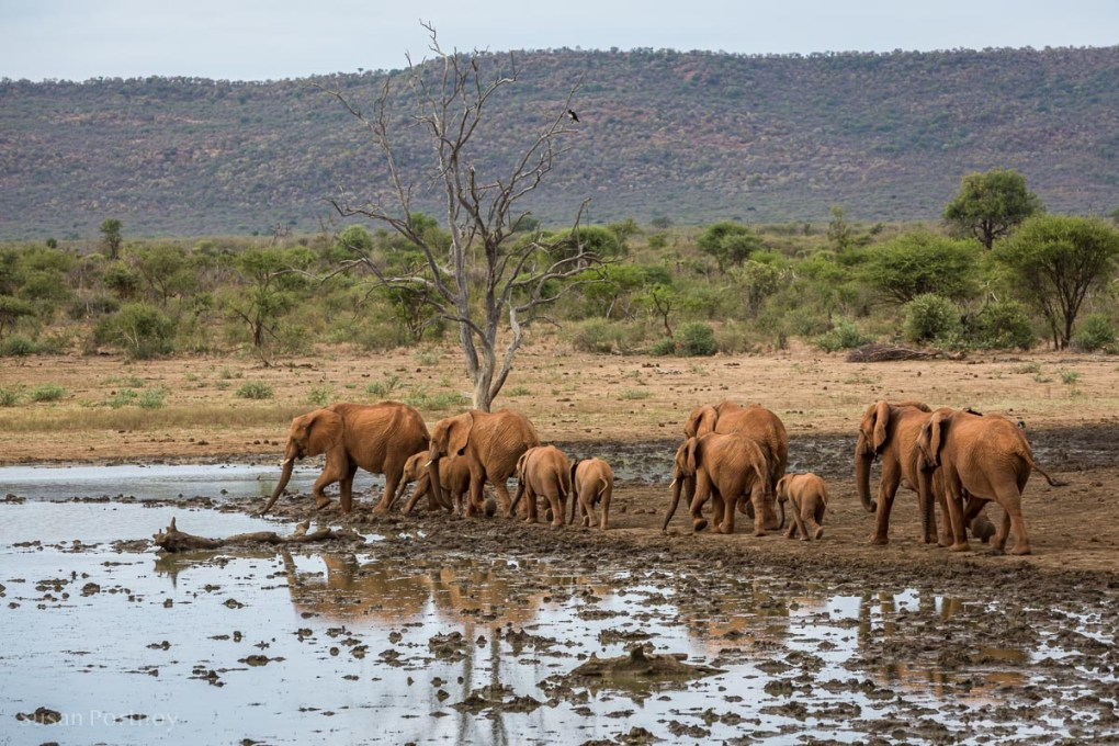 Herd of elephants at the edge of a muddy watering hole