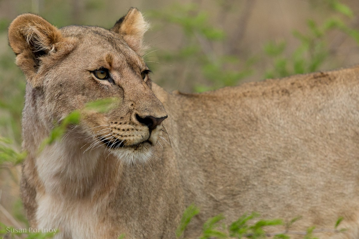 A young sub adult lion