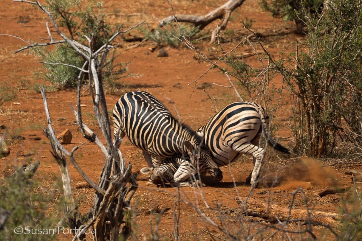 Two zebras in front of the Molori Safari Lodge, celebrity hotel in South Africa