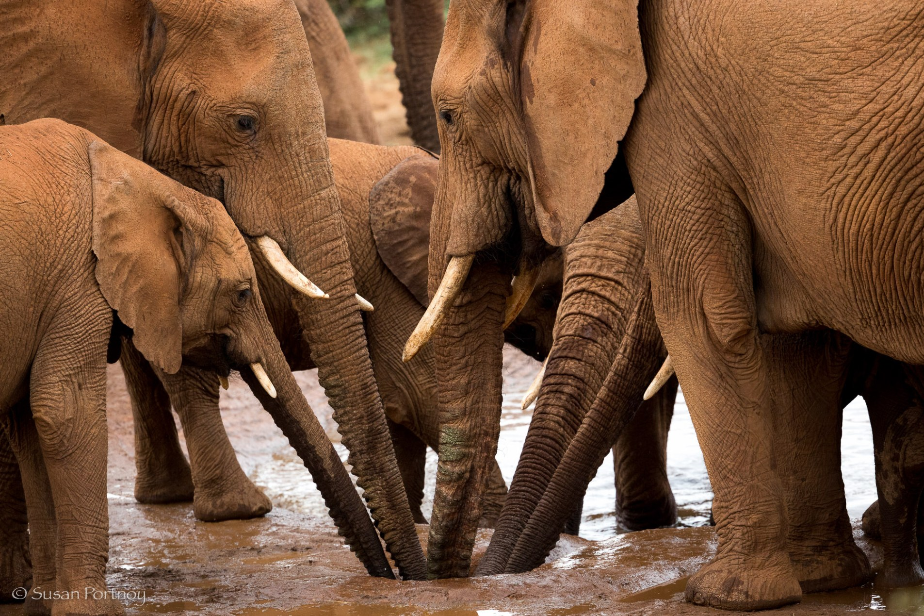 Elephants drinking from the watering hole at Molori Safari Lodge in South Africa