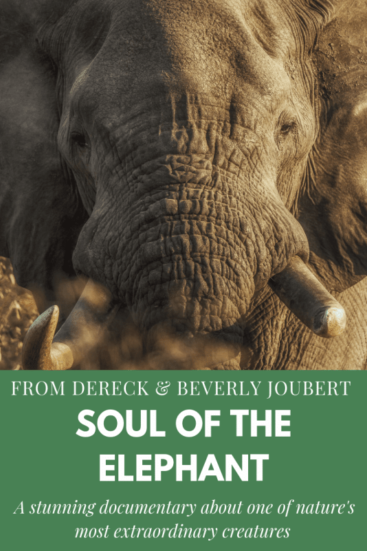 An extraordinary documentary about the special, hidden lives of elephants filmed but Dereck and Beverly Joubert of Nat Geo fame. It'll melt your heart and make you think. #movie #elephants #Natgeo