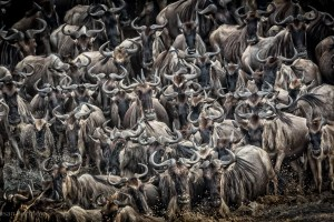Large heard of wildebeest walking past camera in the Masai Mara, Kenya