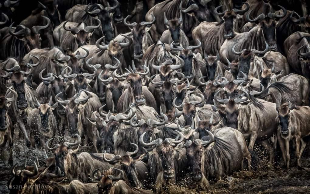 Large heard of wildebeest walking past camera in the Masai Mara, Kenya