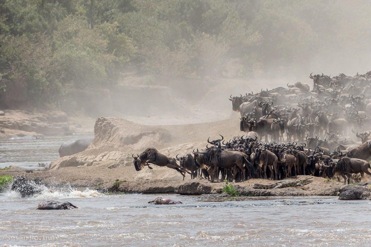 Wildebeest leaps into the Mara River