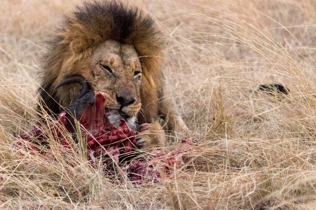 Photographing Lion eats a kill in the Masai Mara, Kenya