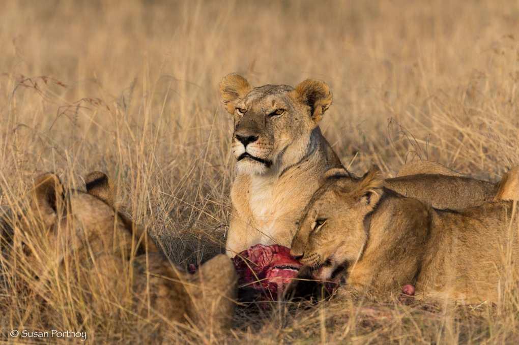 A pride of lions eats a kill near Mara Plains Camp in Kenya