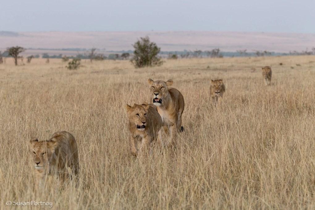 Photographing a lions walking in the Masai Mara, Kenya