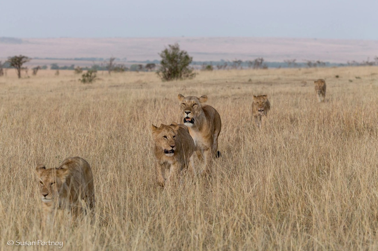 Photographing a lions walking in the Masai Mara, Kenya