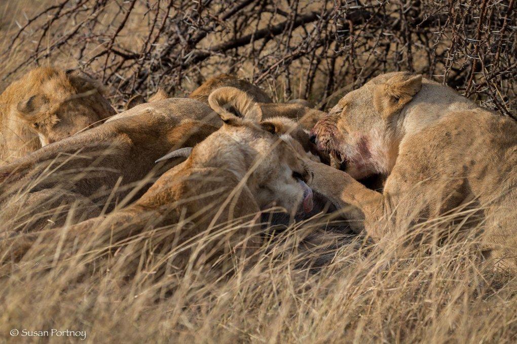 lion cubs eating a kill under a tree in the Masai Mara