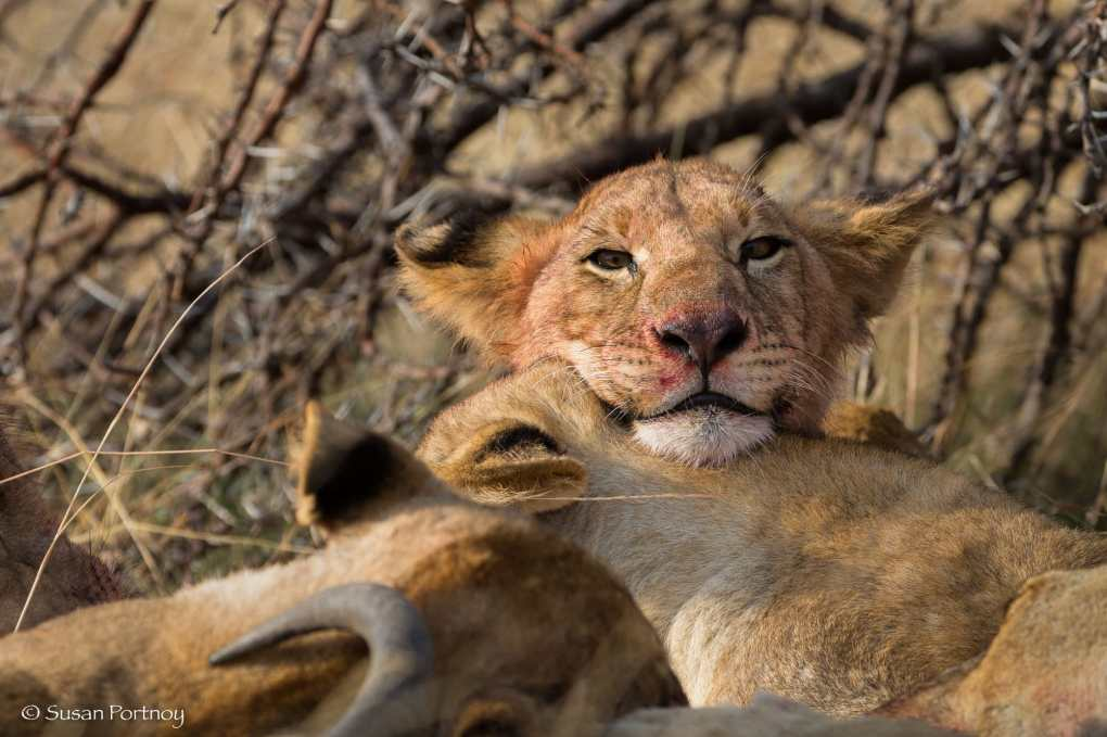 Lion cub with blood on its mouth eating with a pride of lions