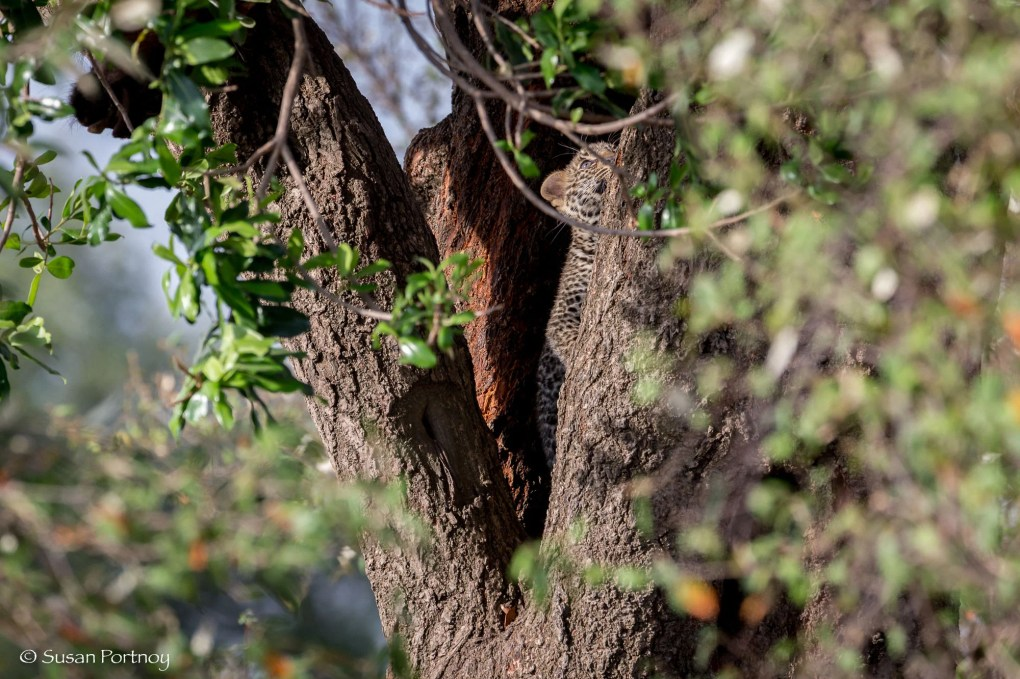 Baby leopard in a tree in Kenya