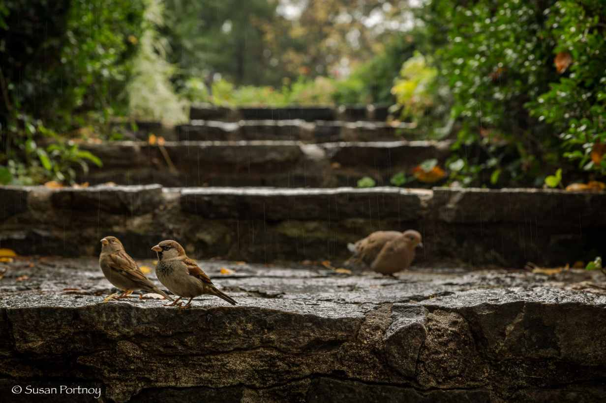 Stone steps in Shakespeare's Garden, Wooden Bridge in Shakespeare's Garden, The Reservoir, Dipway Arch, Wollman Rink, Wood duck and mallard in Mallard in Mallard ducks in the Pond in Gapstow Bridge, Central Park, New York