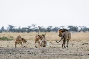 Male with 3 female lions
