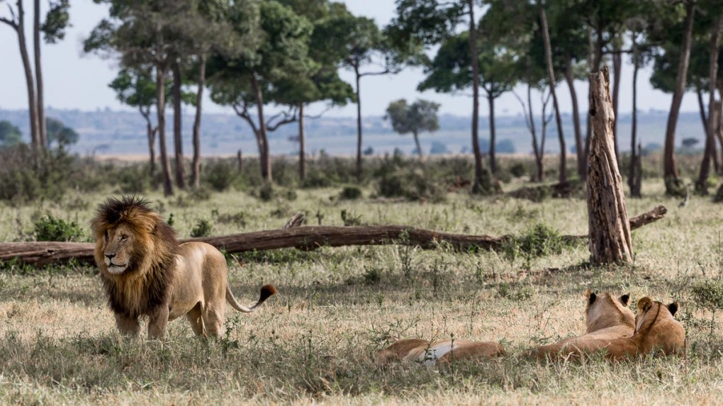 Scar the Lion - Kenya Wildlife Safari_-01