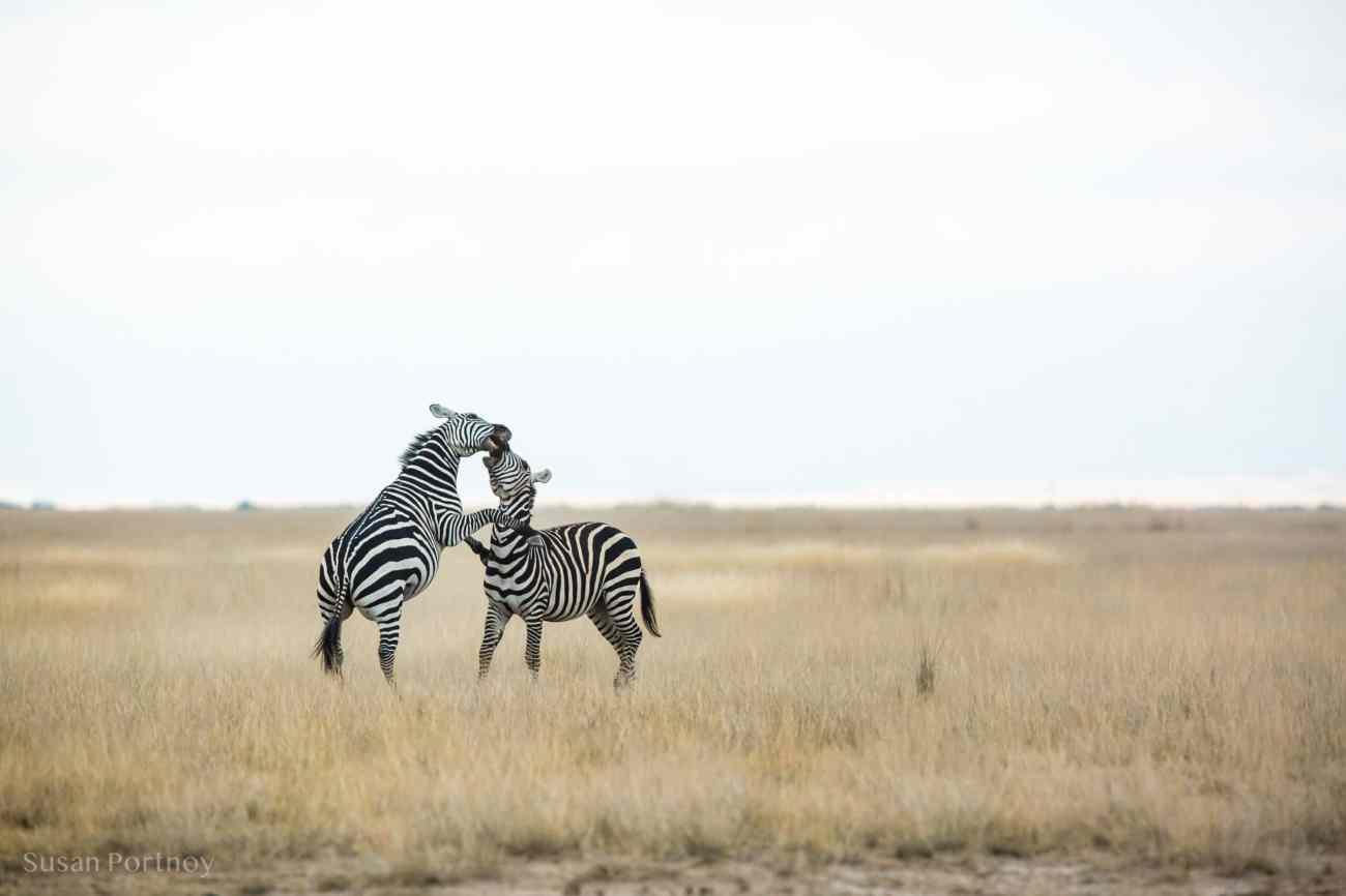 Two male zebras spar for dominance in Amboseli, Kenya
