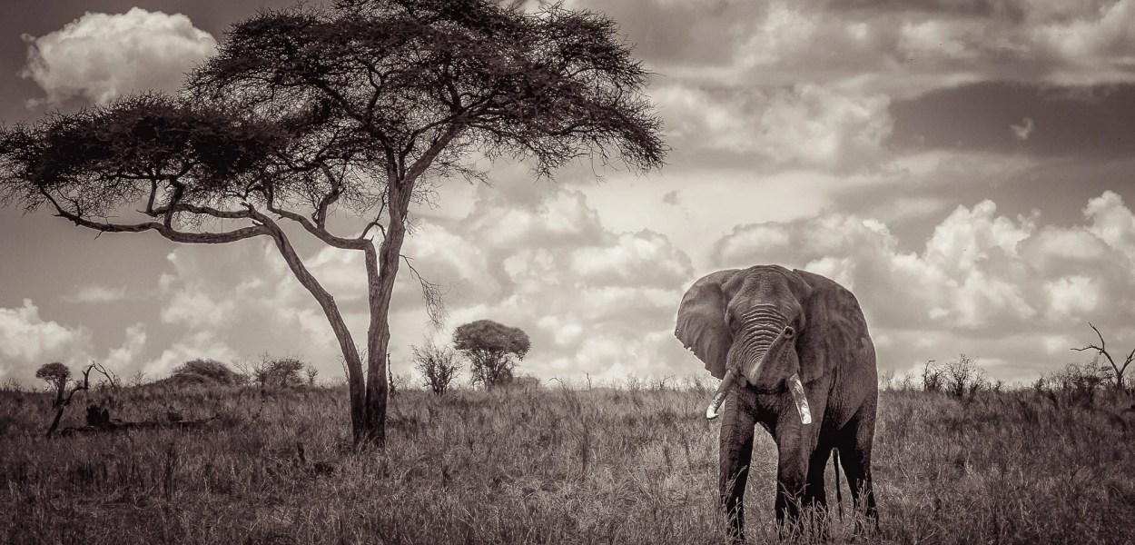 Bull elephant in Tarangire, Tanzania
