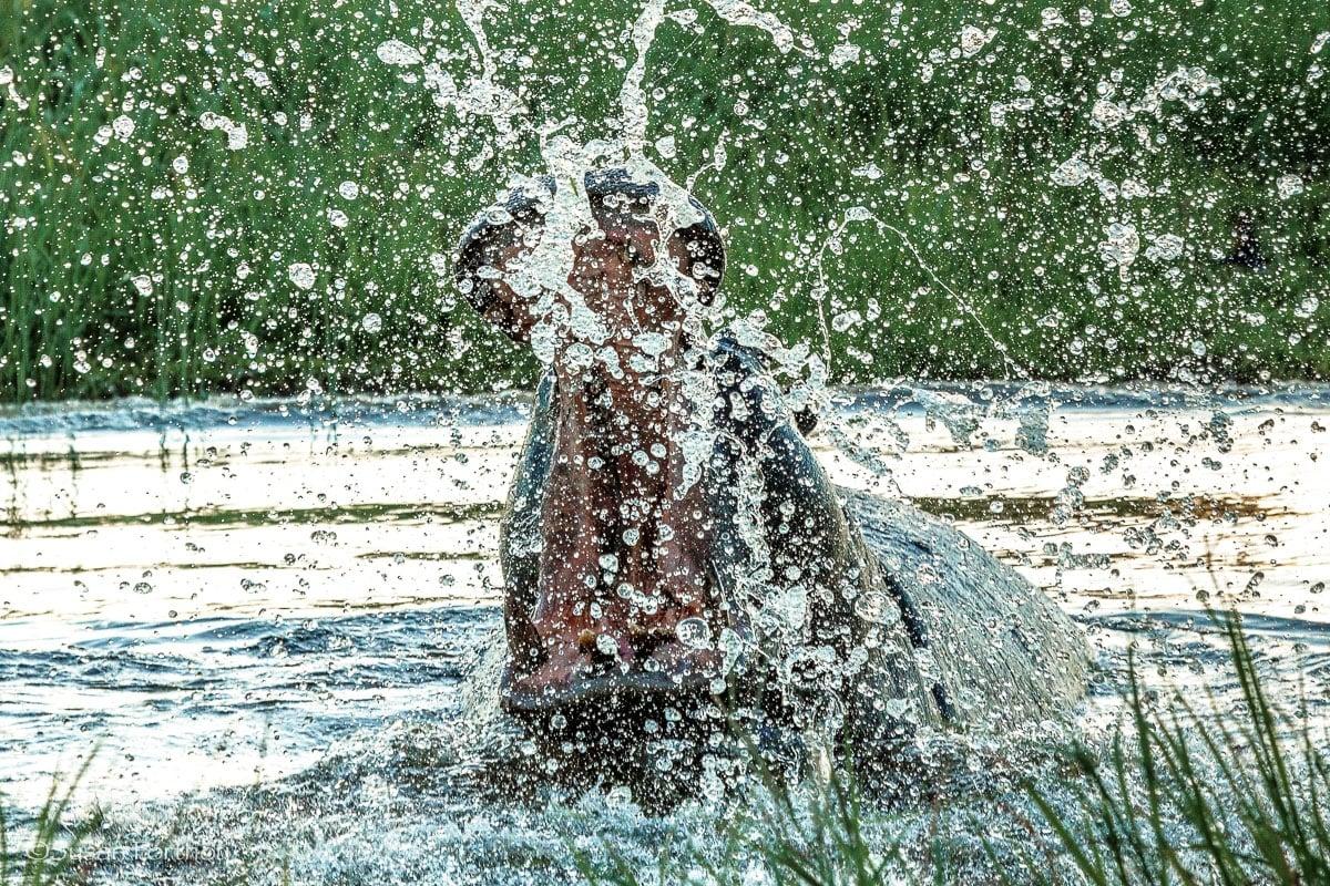Hippo splashing water in Botswana