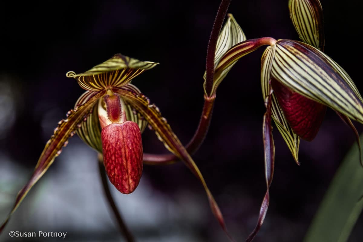 Paphiopedilum (slipper orchid) NY Botanical Garden Orchid Show: Thailand