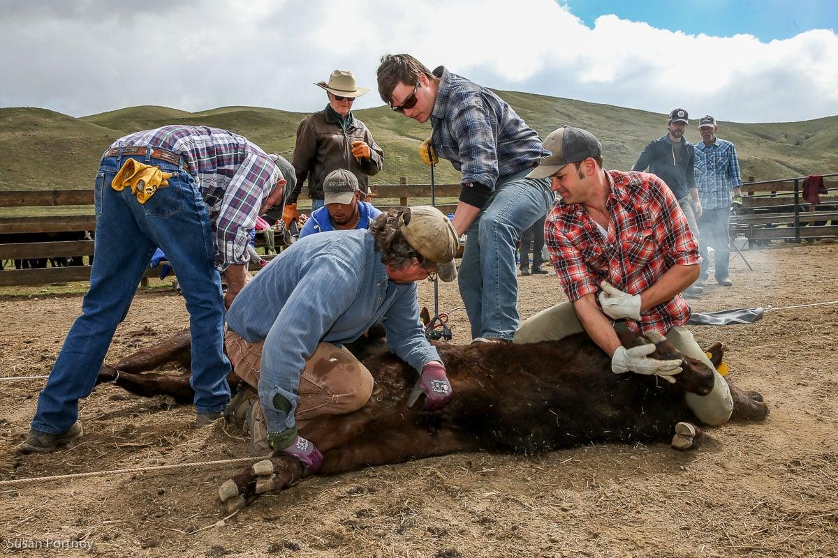 Triple Creek Ranch cattle branding in Montana - The Insatiable Traveler