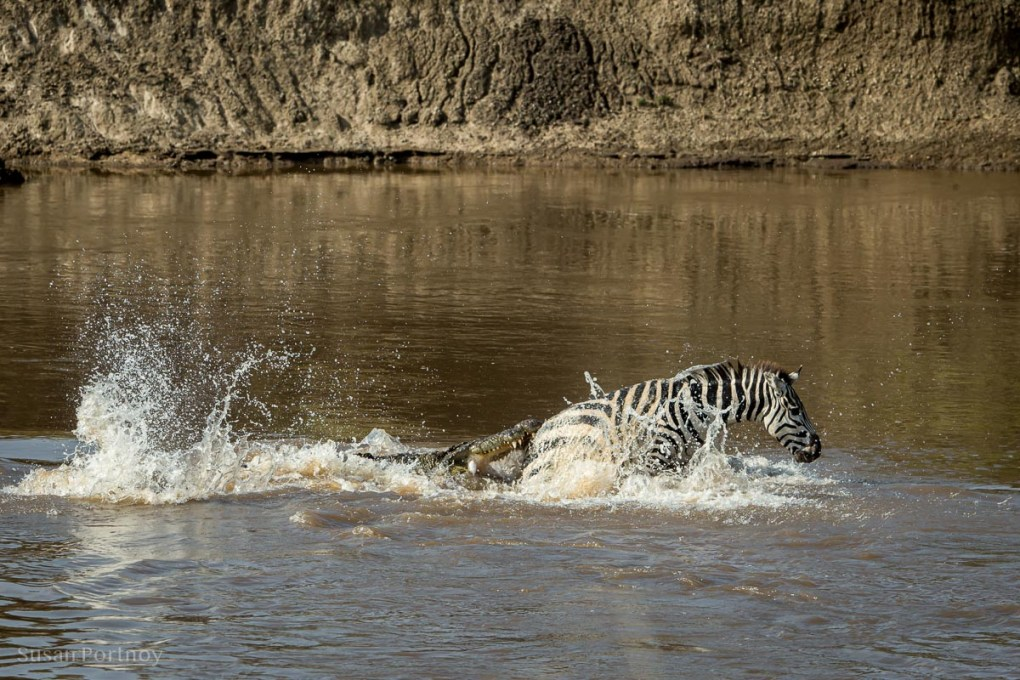 Crocodile tries to bite a zebra in the Masa Mara River in Kenya