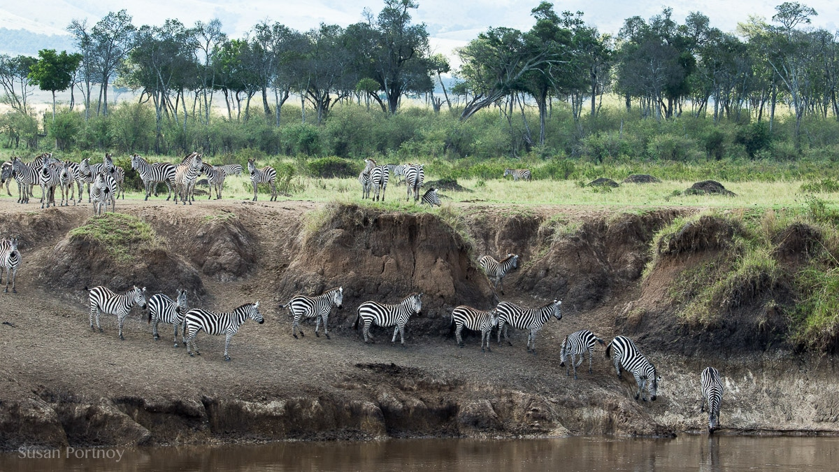 Zebra drink water out of the Masa Mara River in Kenya