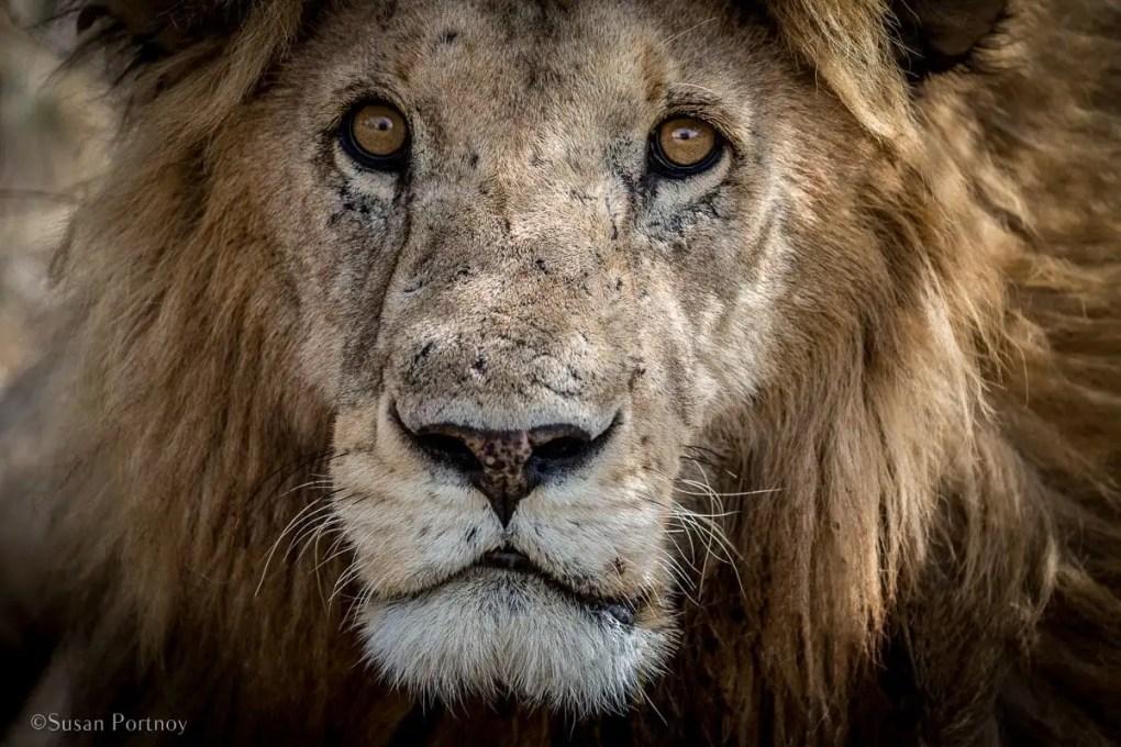 Close up of lion face in the Maasai Mara, Kenya | How to Take Amazing Wildlife Photos on an African Safari