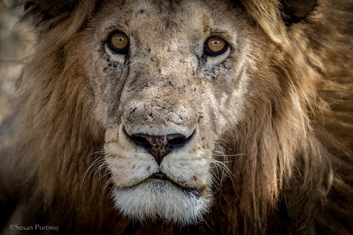 Close up of lion face in the Maasai Mara, Kenya | How to Take Amazing Wildlife Photos on an African Safari