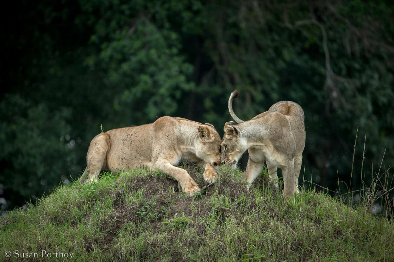 Tips for Taking Amazing Wildlife Photos on a Safari Adventure--two female lions nuzzling on a hill