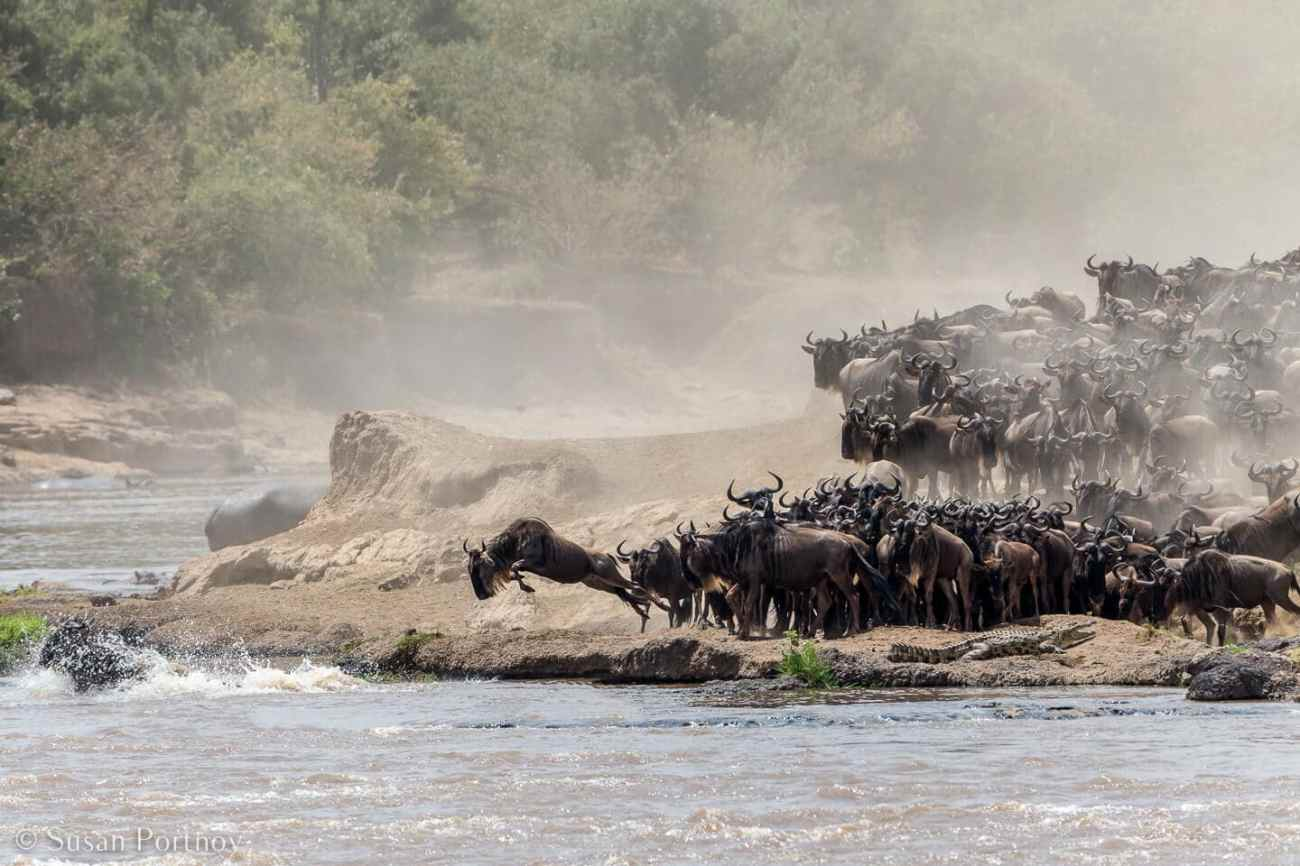 Tips for Taking Amazing Wildlife Photos on a Safari Adventure--wildebeest cross the Mara River in Kenya