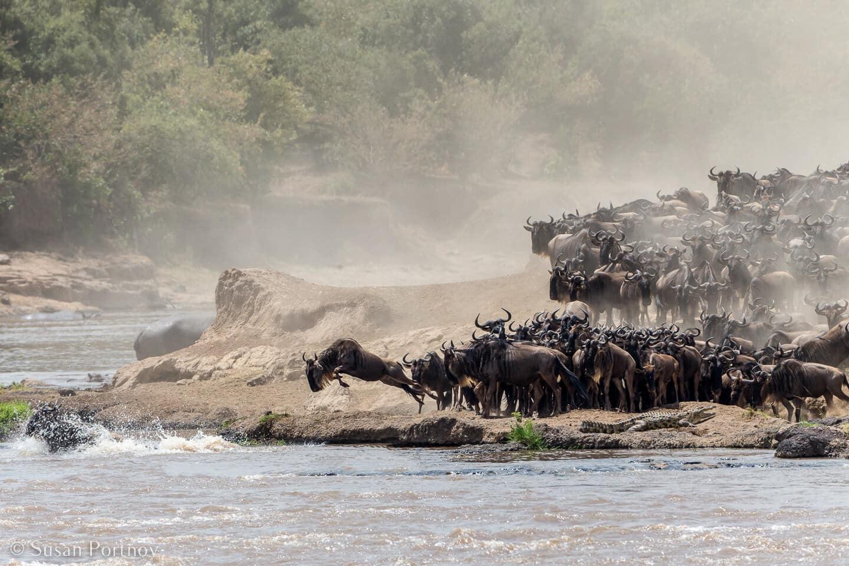 Tips for Taking Amazing Wildlife Photos on a Safari Adventure--wildebeest cross the Mara River in Kenya