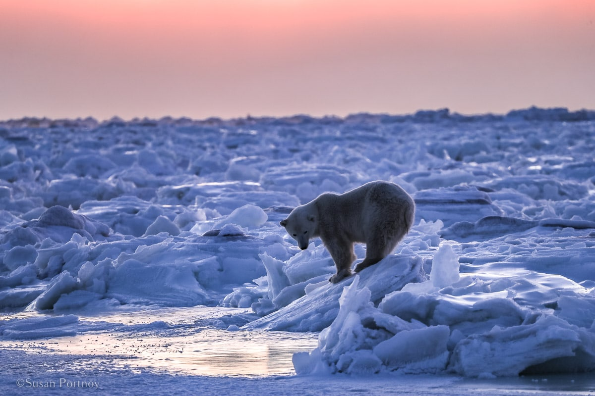 Polar bear at sunrise | Canada's Walking Polar Bear Photo Safari -Seal River Heritage Lodge-Manitoba-006205
