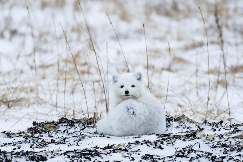 Arctic Fox |Canada's Walking Polar Bear Photo Safari -Seal River Heritage Lodge-Manitoba-054915