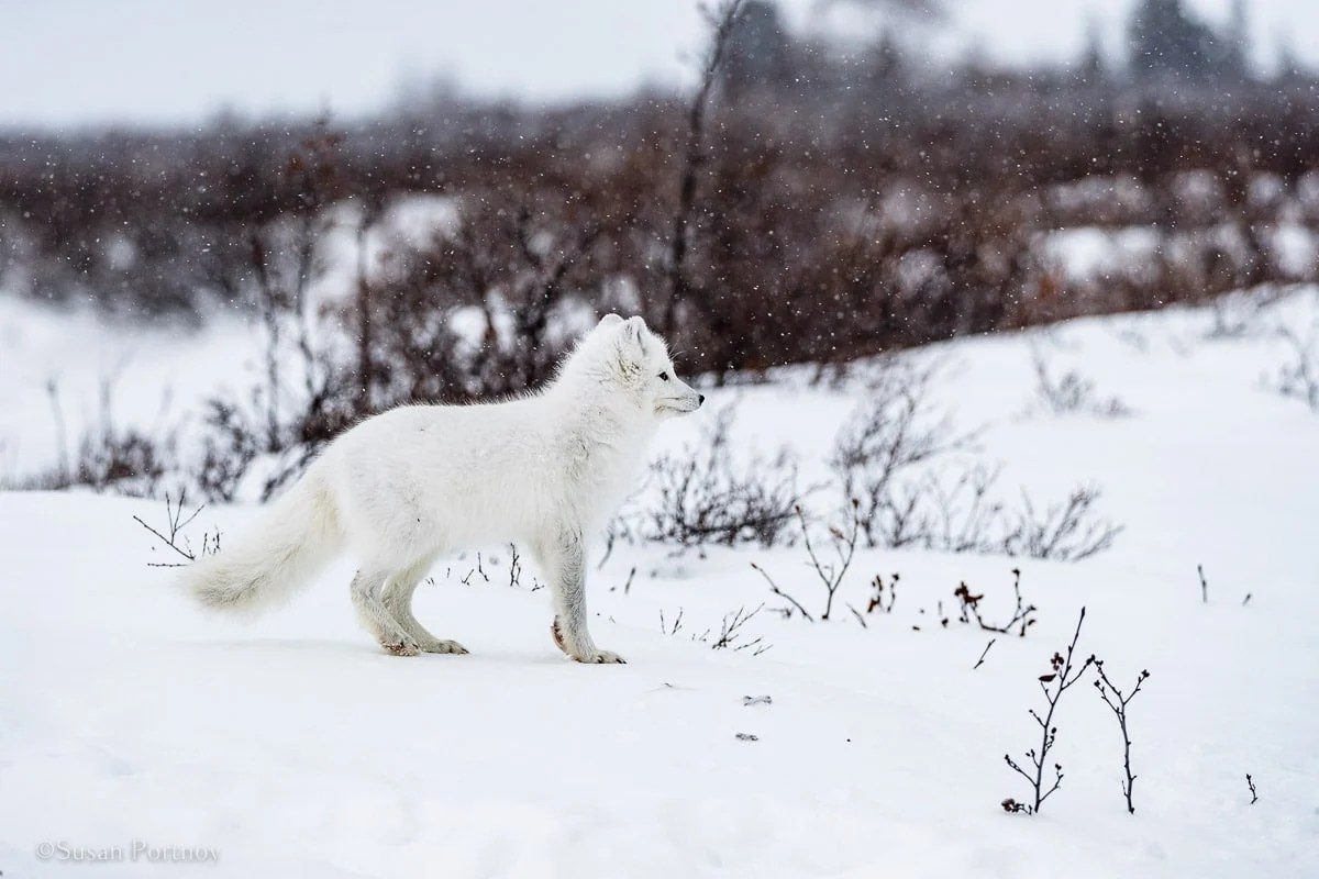 An Arctic fox | What it's like to be on Canada's only Walking Polar Bear Photo Safari