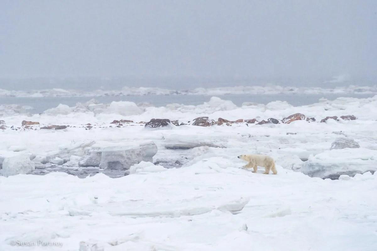 Polar bear walking on Hudson Bay | Canada's Walking Polar Bear Photo Safari -Seal River Heritage Lodge-Manitoba-128603
