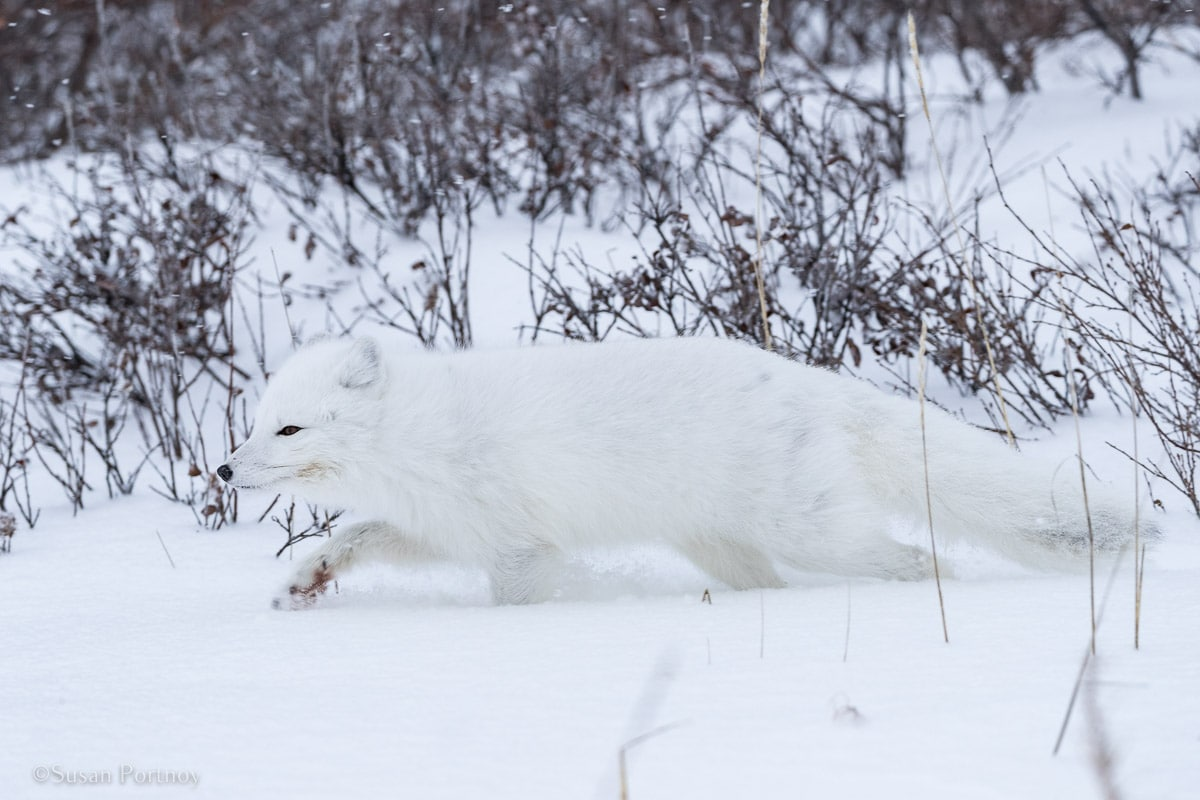 Arctic Fox | Canada's Walking Polar Bear Photo Safari -Seal River Heritage Lodge-Manitoba-036004