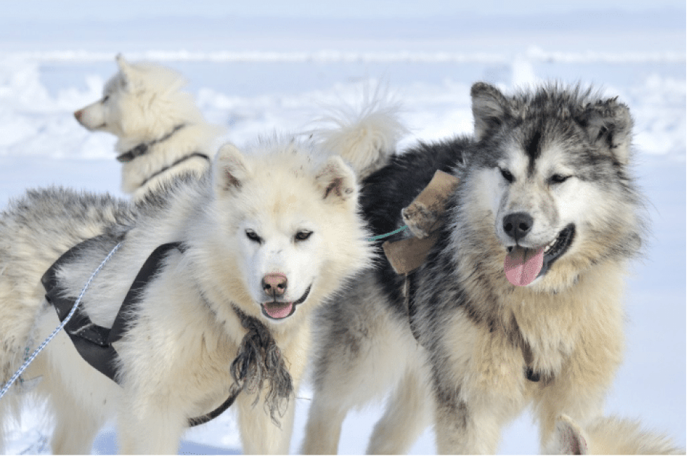 Kim Kim Dog Sledding| 8 Unique Winter Activities Worth Jumping on A Plane For